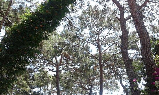 Kemer Holiday Club: Такие кроны деревьев практически над всей территорией отеля.