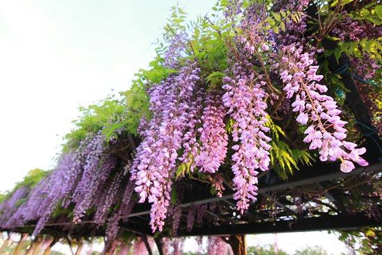 Kasukabe 1st Children Center Angel Dome: 春日部市の花「フジ」を見ることができます