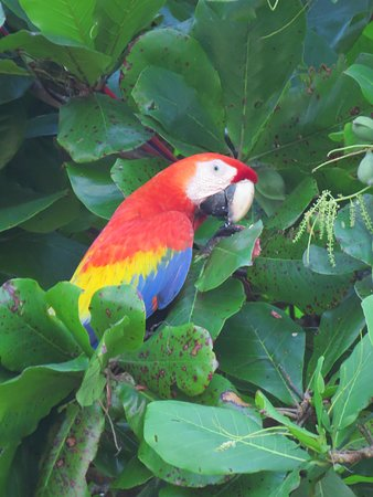 TikiVillas Rainforest Lodge: Scarlet macaw by the beach