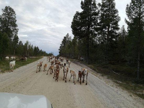 Elgå, Norge: Le renne a spasso nel parco nazionale a pochi passi dall'hotel