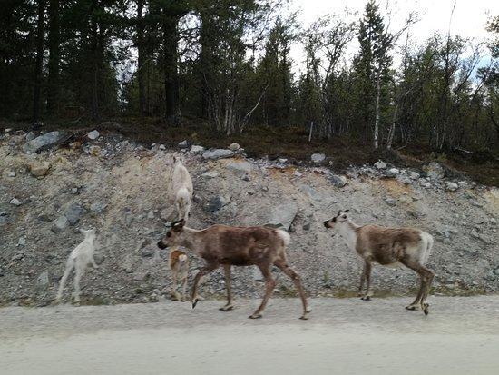 Elgå, Norge: Le renne nel parco nazionale a pochi passi dall'hotel