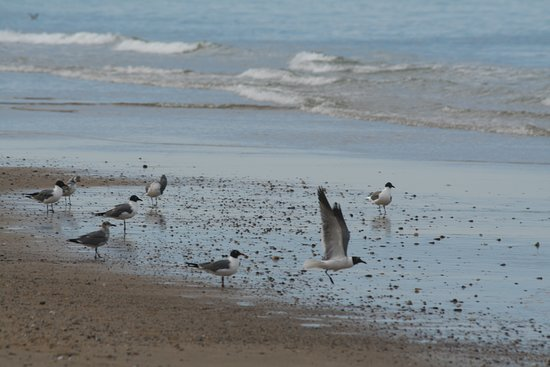 Coast Guard Beach: Laughing Gulls