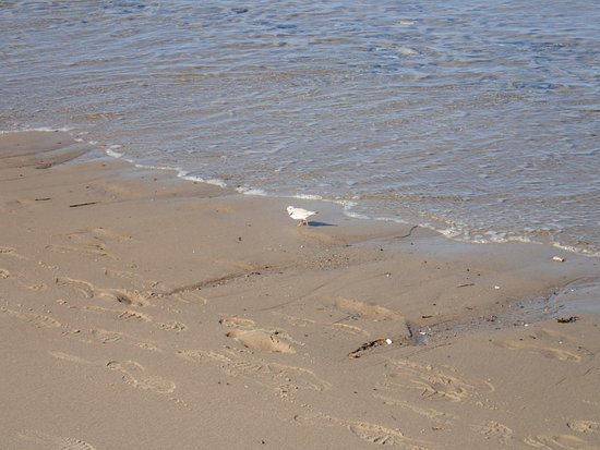 Coast Guard Beach: Piping Plovers are on the Endangered Species List - a treat to see!