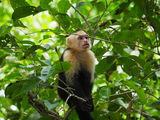 Tulemar Resort: White-faced capuchin visited the beach often.