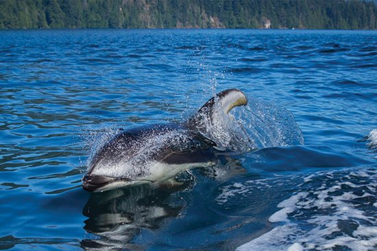 Gibsons, Canada : Pacific White Sided Dolphin