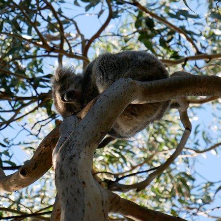 kennet river koala walk kennett river 2018 tours. Black Bedroom Furniture Sets. Home Design Ideas