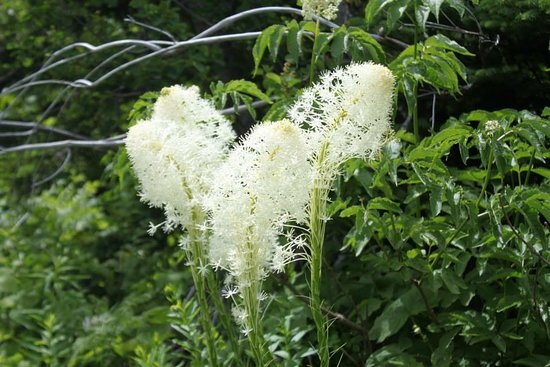 Glacier National Park's Sun Tours: Bear Grass