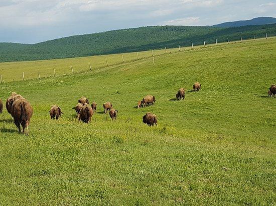 Ferma de Bizoni - Bison Farm