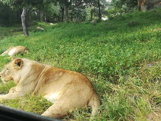 sleeping lion picture of lion and cheetah park harare tripadvisor