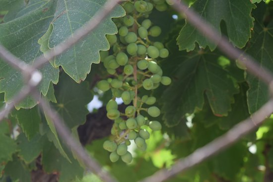 Kostantakis Cave Winery: while walking towards the winery in someones garden.