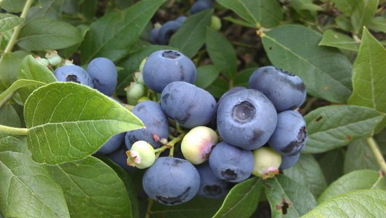 Stillwater, Μινεσότα: Delicious, nutritious blueberries!