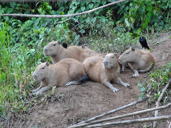 Tambopata Giant Otter Expeditions: group of capibaras