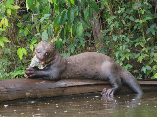 Tambopata Giant Otter Expeditions: giant otter