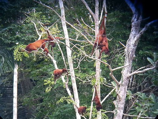 Tambopata Giant Otter Expeditions: a family of howler monkeys