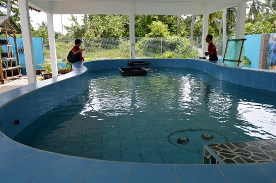 Masjid Tanah, Malaysia: Pool with the hawksbill turtles at back of building