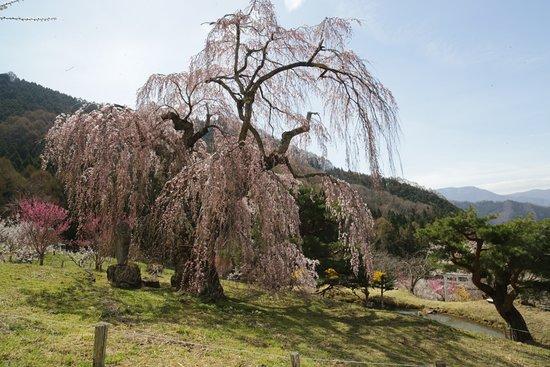 Suzaka, Japón: 弁天さんのしだれ桜