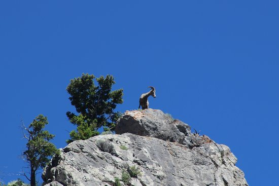 Gates of the Mountains: Rocky Mountain Sheep