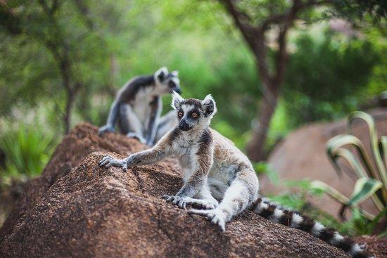 Fianarantsoa Province, Madagascar: Lémuriens du Camp Catta