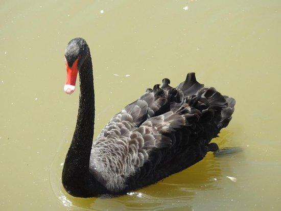 WWT Slimbridge Wetland Centre: Black swan