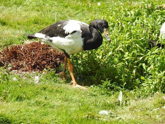 WWT Slimbridge Wetland Centre: Magpie goose