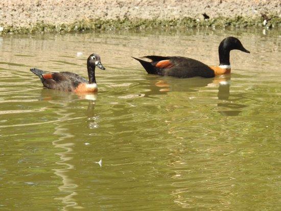 WWT Slimbridge Wetland Centre: Australian shel duck