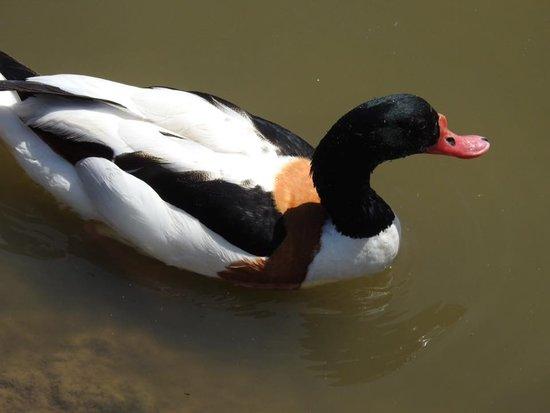 WWT Slimbridge Wetland Centre: Sheldrake