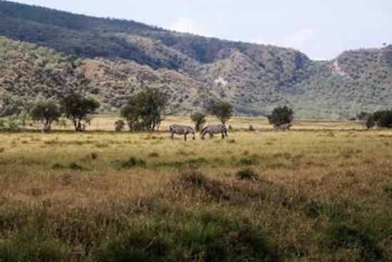 Maai Mahiu, Kenya: zebras from a far distance