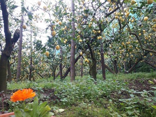 Tour Enogastronomico Schiazzano e Tradizioni: Lemon Grove