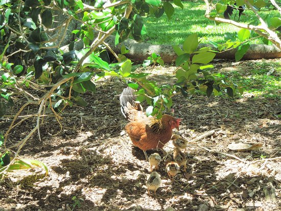 Unfinished Cathedral: Feral chickens in garden area