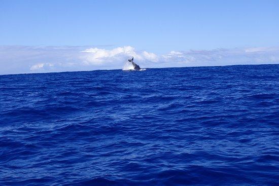 Bleu Marine Reunion: une baleine à bosse vue du bateau