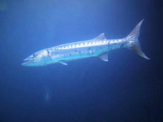 Bermuda Aquarium, Natural History Museum & Zoo: Barracuda!
