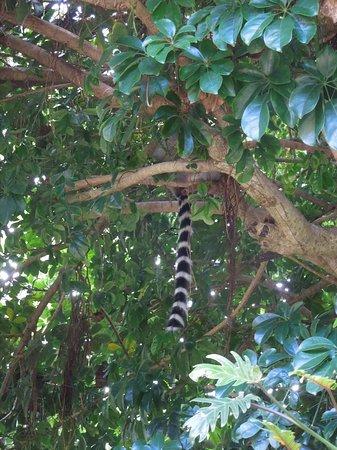 Bermuda Aquarium, Natural History Museum & Zoo: Shy lemur