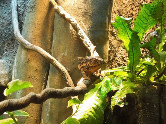 Bermuda Aquarium, Natural History Museum & Zoo: Chameleon