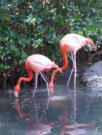 Bermuda Aquarium, Natural History Museum & Zoo: Flamingos