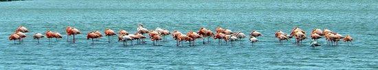 Sint Willibrordus, คูราเซา: Flamongo Flock