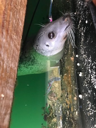 This was a beautiful harbor seal that my daughters were referring to his blue that visited us in