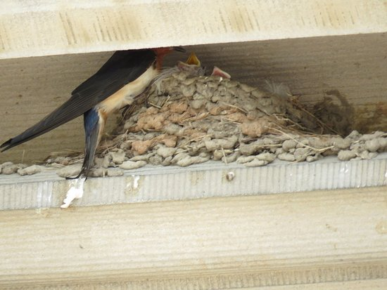 Biltmore: In line to enter the house, you'll see the barn swallows swooping overhead, nesting above window