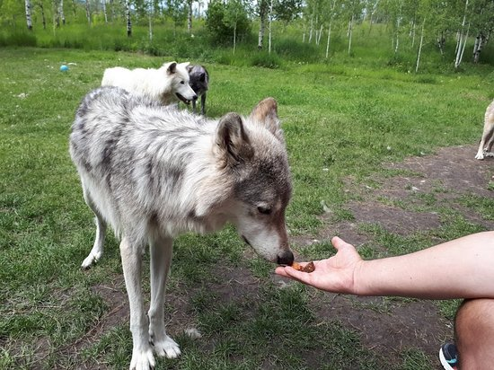 Yamnuska Wolfdog Sanctuary: feeding the wolfdogs treats in the interactive tour