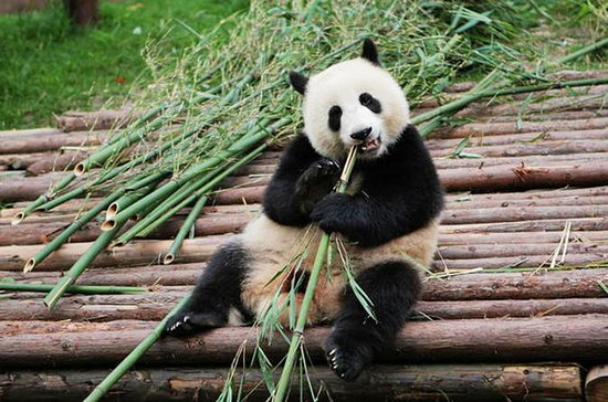 Half-Day Tour at Chengdu Panda...