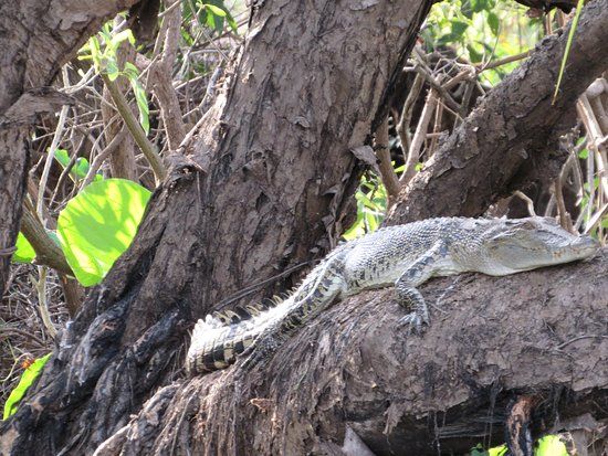 Corroboree Billabong Wetland Cruise: One little crocodile have a lounge around