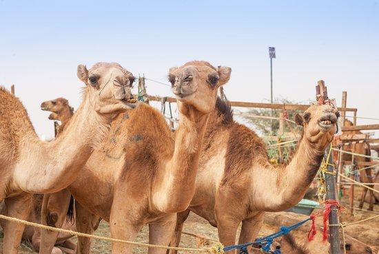 Mazotos, Chipre: Camel Park