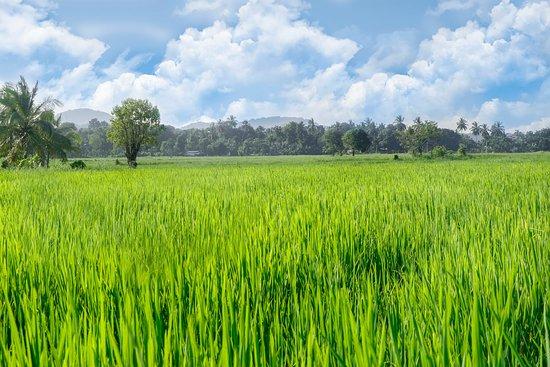 Giritale, Sri Lanka: Paddy field view