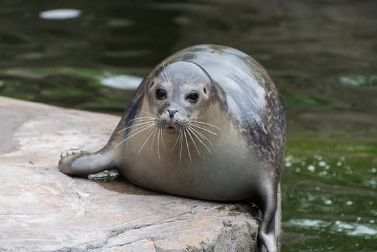 The Scottish SEA LIFE Sanctuary: One of the resident seals