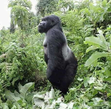 Kigali, Ruanda: The Ultimate Gorilla tracking experience in Uganda and Rwanda With Gorilla Safari Memories, Memo
