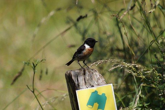 Réserve Naturelle Marais de Séné: Ein Schwarzkehlchen