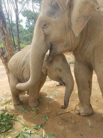 Elephant Jungle Sanctuary Phuket: Natalie and her baby Choke