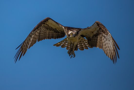 Oceanside, NY: Osprey was about returning to the nest.