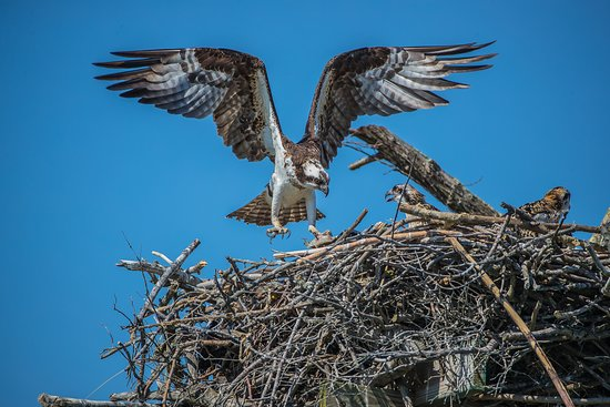 Oceanside, NY: The male osprey brought fish meat back to feed the young one.