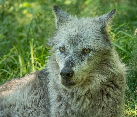 Haliburton, Kanada: Wolf