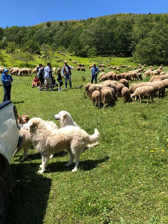 Wild Foods Italy: Sheep encounter
